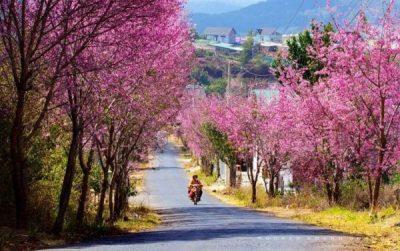 Đà Lạt: Cung đường hoa mai anh đào làm say lòng du khách