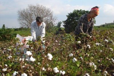 Người dân thu hoạch bông